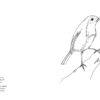 petirrojo-guia-aves
