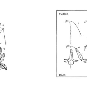 flores-fucsia-lutz