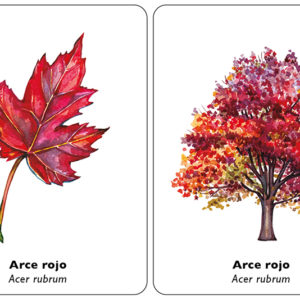 arbol-hoja-arce-rojo