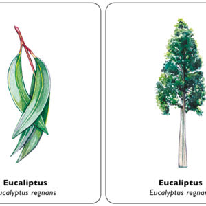 arbol-hoja-eucaliptus
