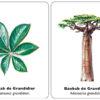 arbol-hoja-baobab-de-grandidier